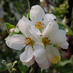 Malus domestica Ligol цветение