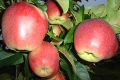 Яблуня Лігол