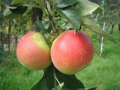 Apple tree Ligol