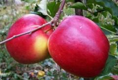 Яблуня домашня Ligol