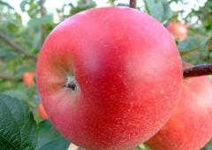 Яблоня Ligol