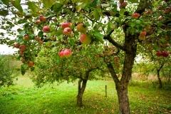 Яблоня домашняя Мутсу