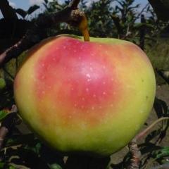 Яблоня Mutsu