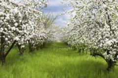 Яблоня домашняя Пинова весной