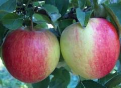 Яблуня Pinova