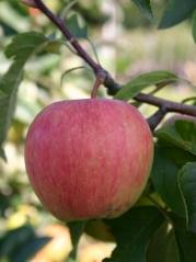 Яблоня Pinova плід