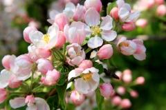 Яблуня домашня Топаз цвітіння