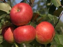 Apple tree Topaz