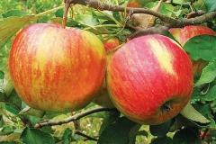 Яблуня Топаз