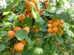 Prunus armeniaca Kiev Еarly