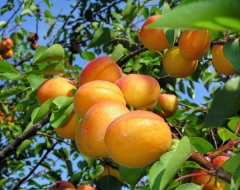 Apricot tree Kiev Еarly