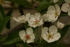 Pyrus communis Clapp's Favourite цветение