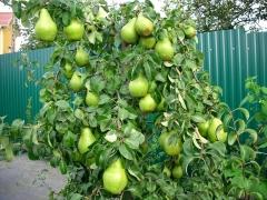 Pyrus communis Noyabrskaya четвертый год плодоношения