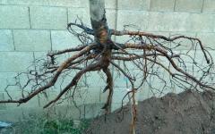 Нектарин домашній Скіф з голим коренем