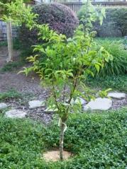 Prunus persica nucipersica Scythian