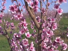 Нектарин Скіф цвітіння