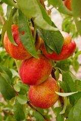 Гладкокожий персик