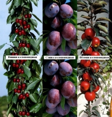 Prunus domestica Imperial