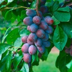 Слива Імперіал та інщі колоновидні фруктові для порівняння