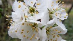 Слива колоновидная Империал цветение