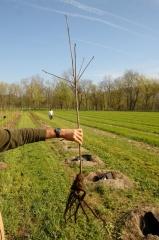 Слива Hungarian Jubilee саженец с голым корнем