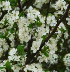 Prunus domestica Hungarian Jubilee цветение