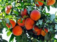 Персик домашний Коллинз (ранний) <br>Персик домашній Колінз (ранній) <br>Prunus persica Collins
