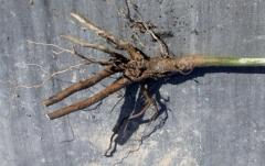 Персик Коллинс с голым корнем