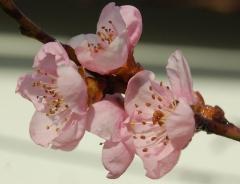 Prunus persica Collins цветение