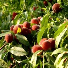 Персик домашній Колінз (ранній)