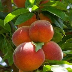 Peach tree Collins