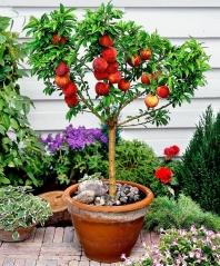 Персик Колінз сформований невеликим деревцем