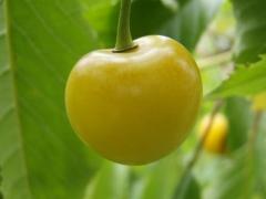 Prunus Drogana yellow