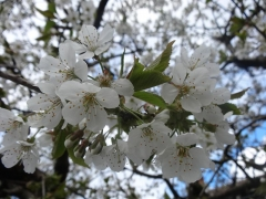 Prunus avium Valery Chkalov цвітіння