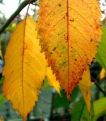 Осенняя листва Черешни Valery Chkalov