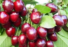 Prunus Valery Chkalov