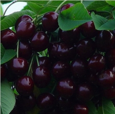 Prunus cerasus Cherry Miracle