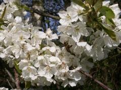 Prunus cerasus Shpanka цветение