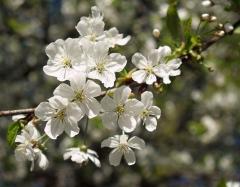 Вишня домашня Норд Стар (пізня) цвітіння