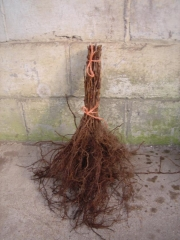 Малина летняя Glen Ample с голым корнем