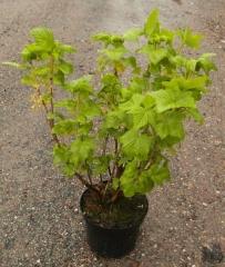 Ribes nigrum Belarusi