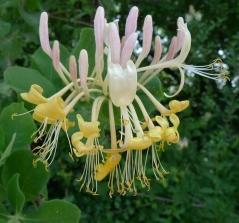 Жимолость квітуча