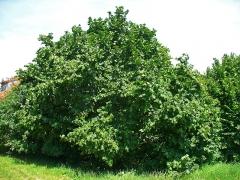 Фундук обыкновенный Вебба ценный Коб <br>Фундук звичайний Вебба цінний Коб <br>Corylus avellana Webb's prize Cob