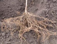 Фундук Вебба ценный крупноплодный с голым корнем