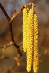 Сережки - мужские цветы Фундука Вебба ценного