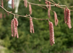 Цветение Corylus avellana Warsaw red