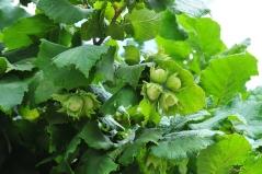 Плод Лещины Косфорд