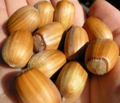Hazelnut tree Cosford