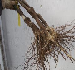 Ліщина Rode Zellernoot з голим коренем