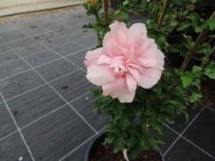 Гибискус махровый Pink Chiffon